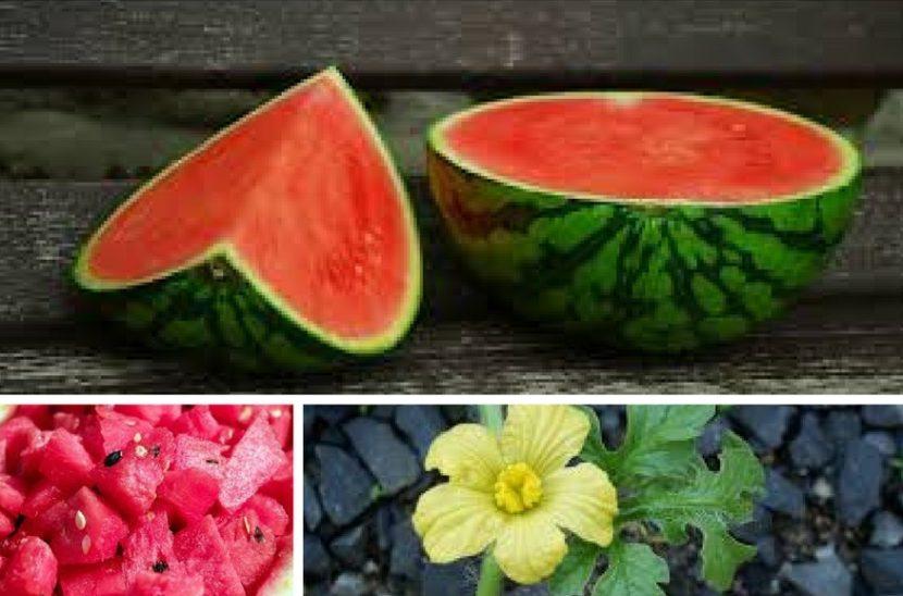 vzgajanje lubenice