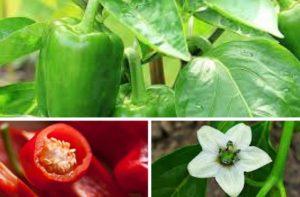 vzgajanje paprike