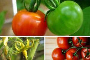 vzgajanje paradižnika