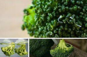 vzgajanje brokolija
