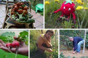 pobiranje pridelka
