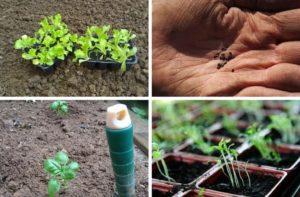 seme, setev in sadike