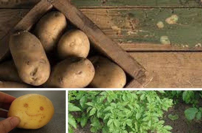 vzgajanje zgodnjega krompirja